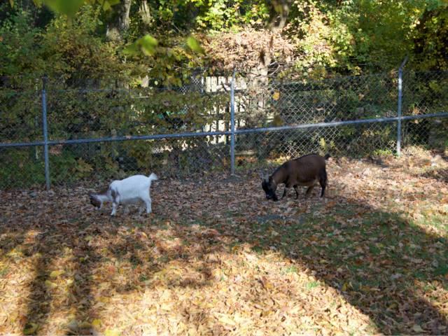 Comment élever des chèvres naines