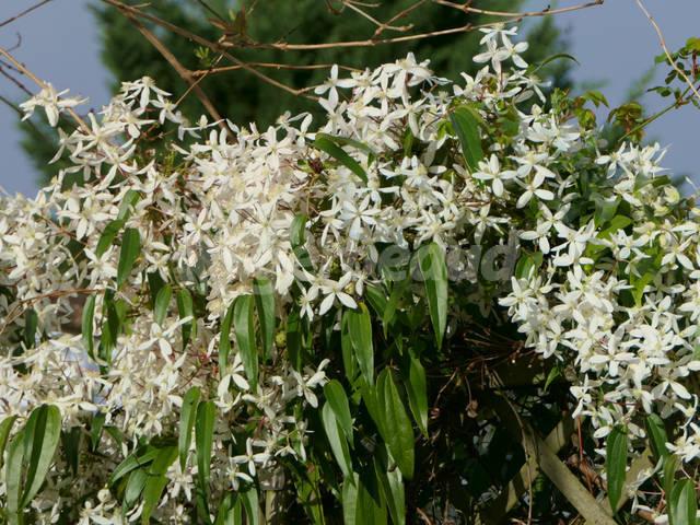 Clématite armandii : planter et réussir cette clématite d'hiver