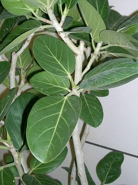 Ficus benghalensis, figuier des banyans : culture et entretien