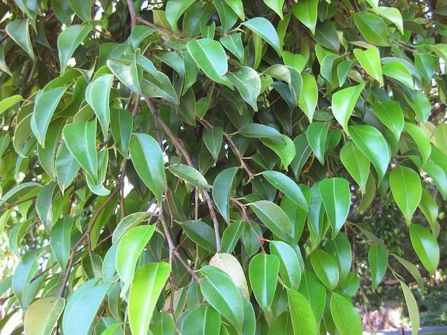 Ficus : les différentes espèces utilisées comme plante verte