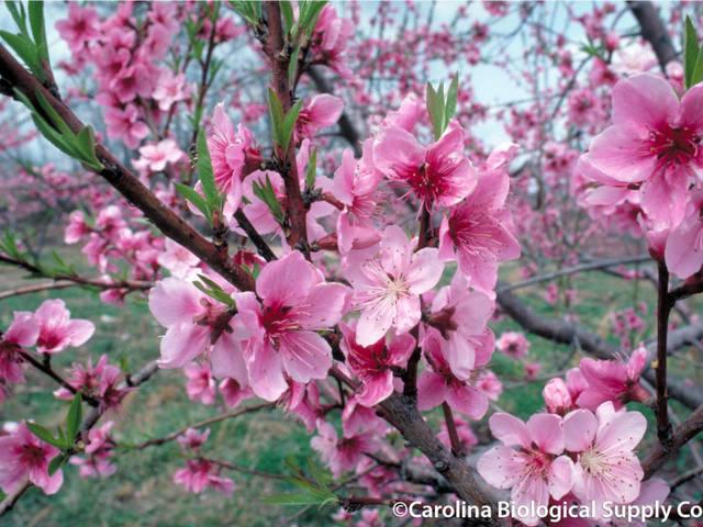 Arbres fruitiers : conseils et traitements au printemps