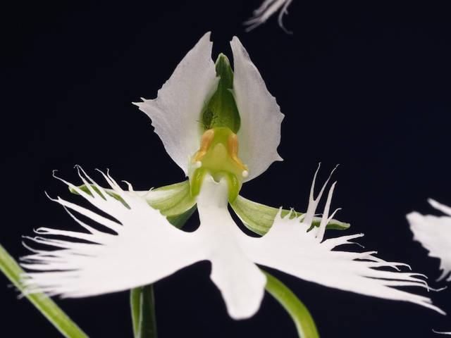 L'orchidée colombe, Habenaria radiata : une orchidée aux fleurs originales
