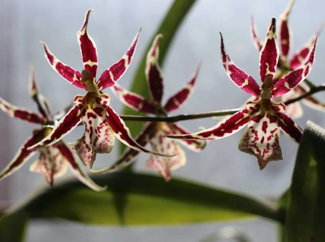 Orchidée Oncidium : comment la cultiver et la faire fleurir ?