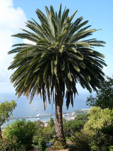 Phoenix canariensis, palmier des Canaries : culture et entretien