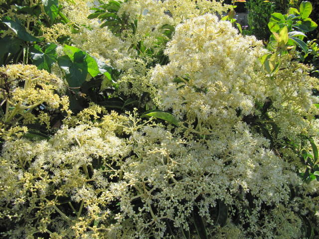 Pileostegia viburnoides : plantation, culture et entretien