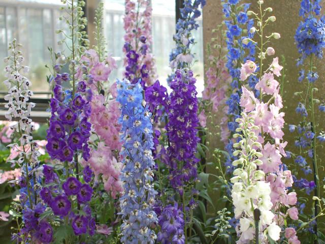 Delphiniums multicolores