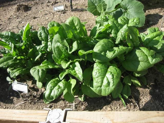 Epinard : semis et culture