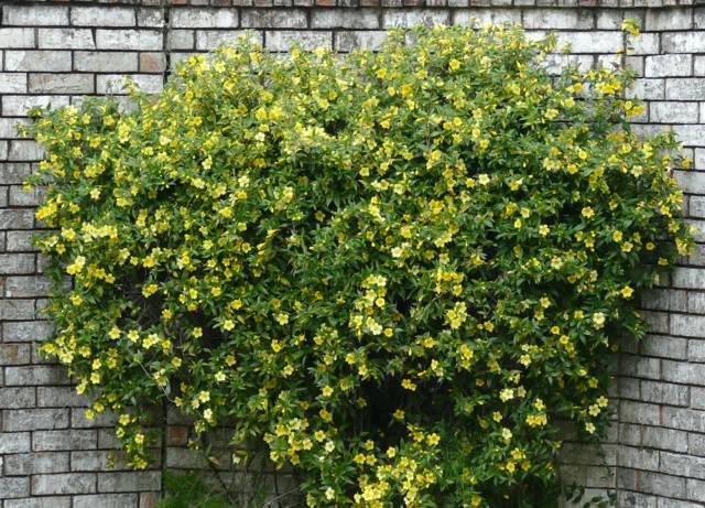 Gelsemium sempervirens, Jasmin de Caroline : plantation, entretien