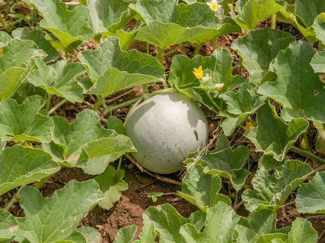 Melon : semis en godet et en pleine terre