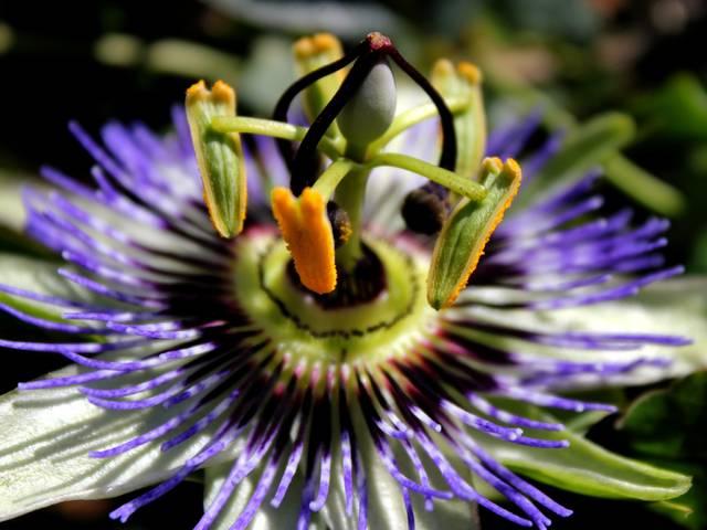 Les passiflores : les cultiver, les différentes espèces