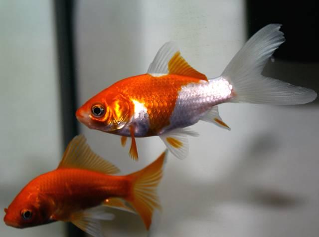 Comète Sarasa : un poisson rouge très facile à élever