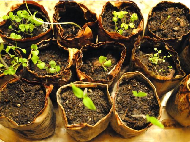 Faire un semis de plantes aromatiques