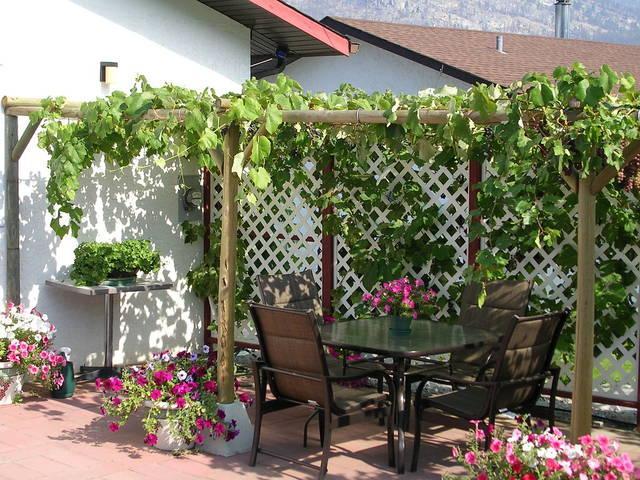 Vigne courant sur un treillage sur une terrasse (Treillages, pergola et tonnelles : utiliser les grimpantes)