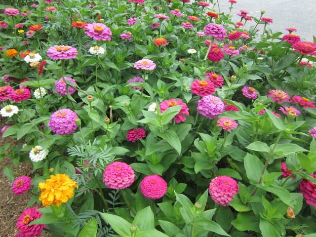 Quoi planter ou semer pour fleurir rapidement un jardin au printemps ?