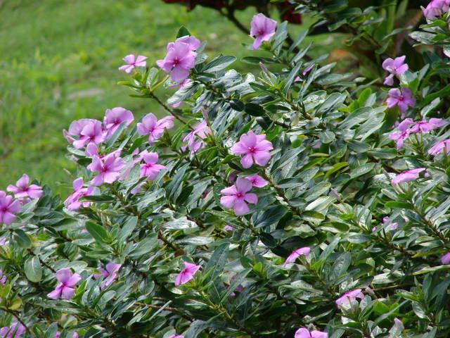 Pervenche de Madagascar, Catharanthus roseus : plantation, culture