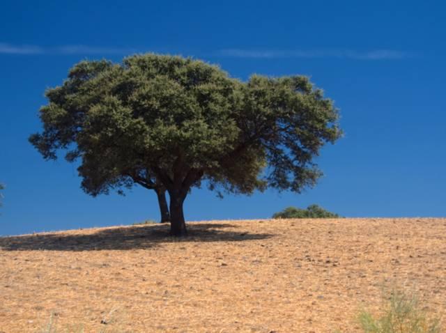 Chêne-liège, Quercus suber : plantation, culture, entretien