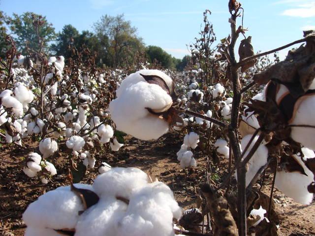 Coton, lin, chanvre, sisal... les plantes à fibres