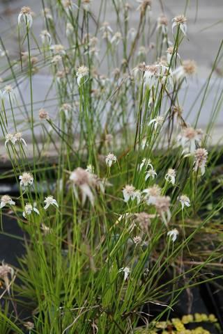 Dichromena colorata, herbe étoilée : plantation, culture, entretien