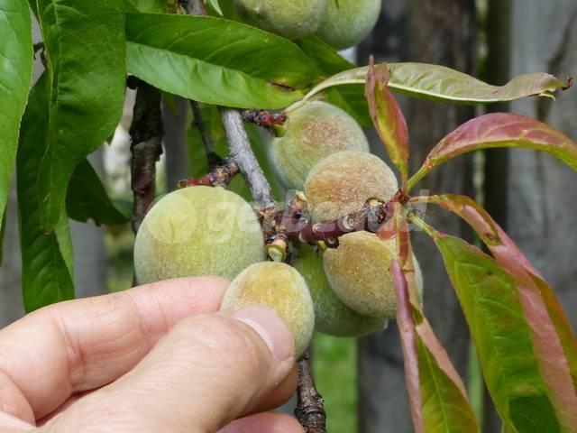 Arbres fruitiers : pratique de l'éclaircissage