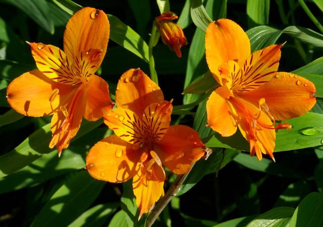 Alstroemeria : en fleurs tout l'été !