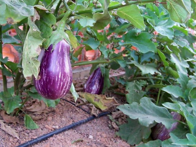 aubergine : culture et conseils