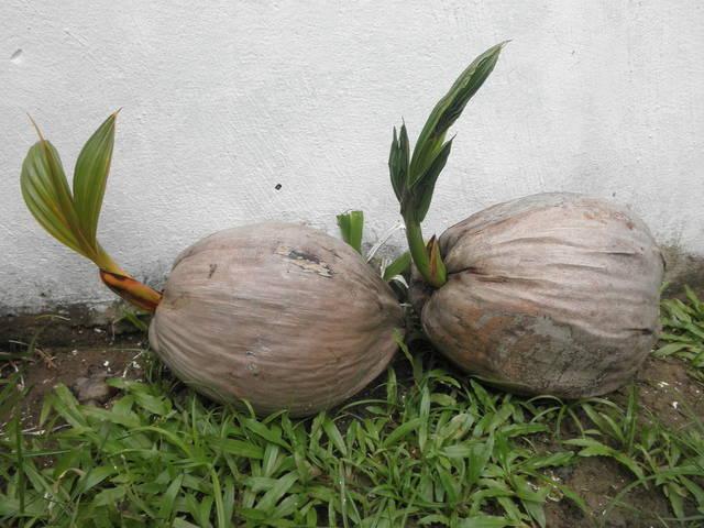 Cocotier, Cocos nucifera : plantation de la noix de coco, culture, entretien