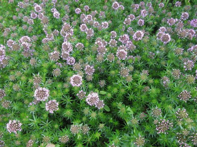 Crucianella : planter, entretenir, multiplier