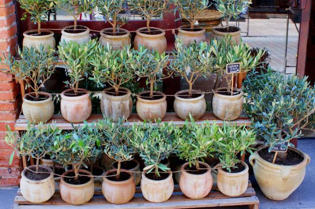 Planter un olivier : en pot, au jardin, dans quel sol ?
