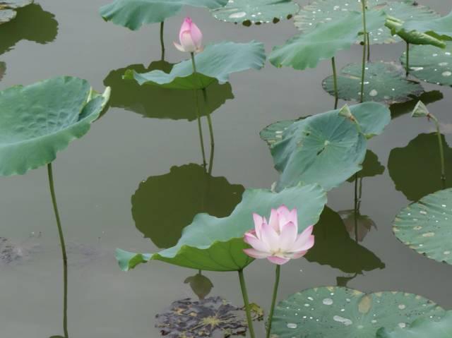Fleur de lotus : histoire et symbolique de cette fleur sacrée
