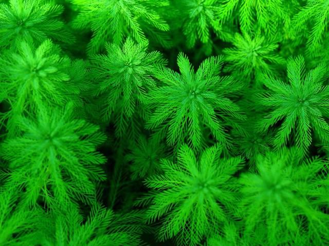 Myriophyllum aquaticum, myriophylle du Brésil : plantation, culture, entretien