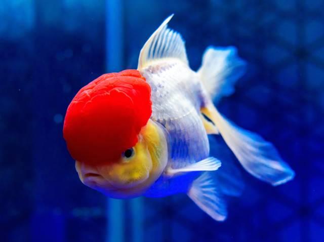 Les poissons japonais, des silhouettes étranges