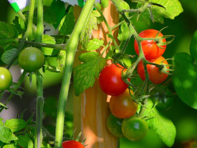 Tomates cerise : choix de variétés, conseils de culture et de taille