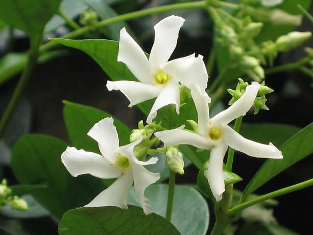 Faux jasmin ou Trachelospermum : une longue floraison étoilée