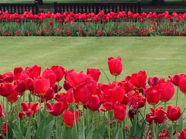 Pelouse bordée de tulipes rouges (Les plantes des années 70)