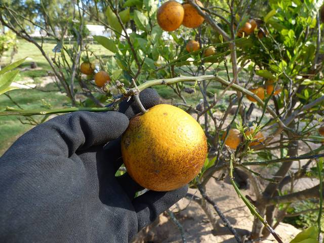 Citronnier 'Meyer' : plantation, culture, entretien
