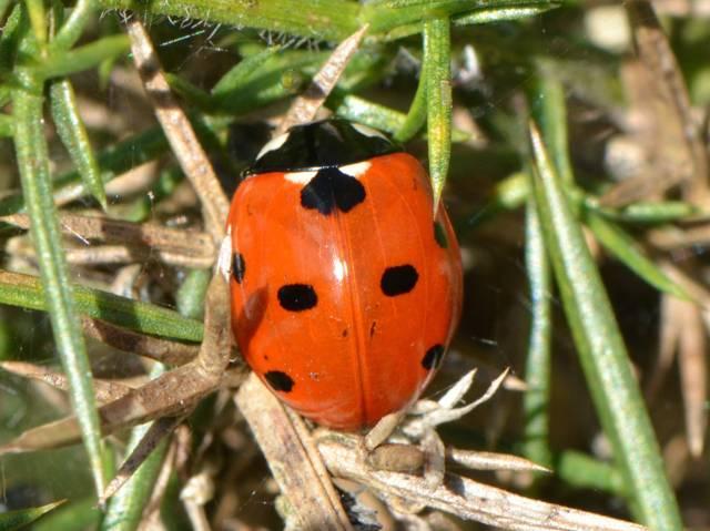 Comment reconnaître la larve et l'adulte de coccinelle à 7 points ?