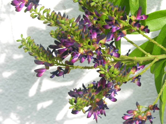 Millettia japonica, glycine persistante, glycine d'été : plantation, culture, entretien