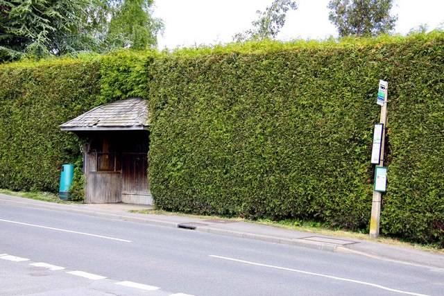 Cyprès de Leyland (Les plantes des années 70)