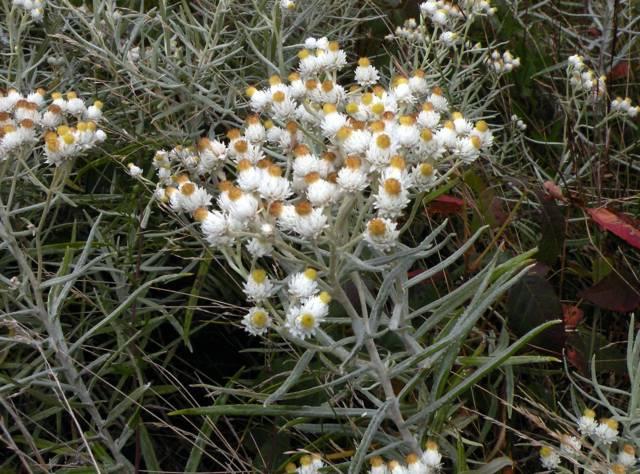 Immortelle d'argent, Anaphalis margaritacea : plantation, culture, entretien
