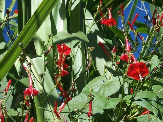 Les ipomées rouges : espèces, semis, culture et entretien