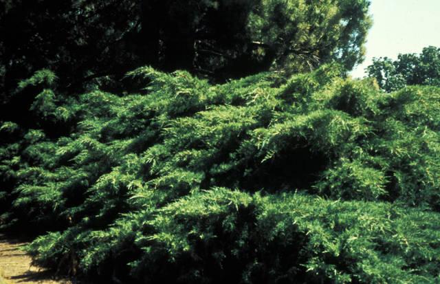 Juniperus  (Les plantes des années 70)