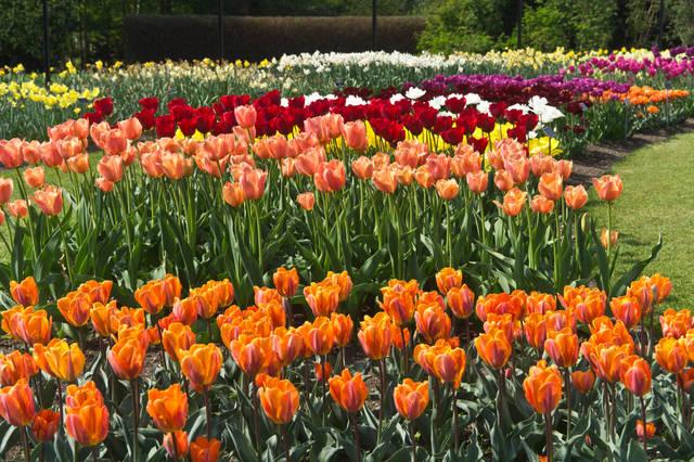 Massif de tulipes (Les plantes des années 70)