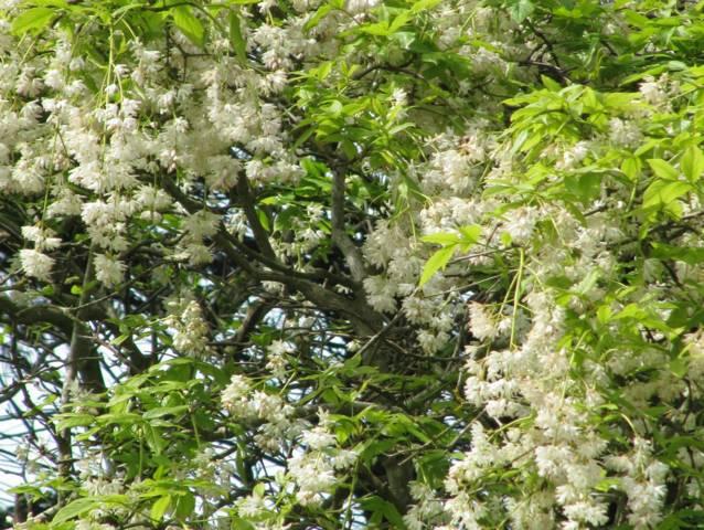 Staphylea pinnata, faux pistachier : plantation, culture, entretien