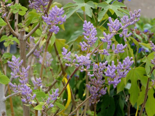 Tetradenia riparia, faux patchouli : plantation, culture, entretien