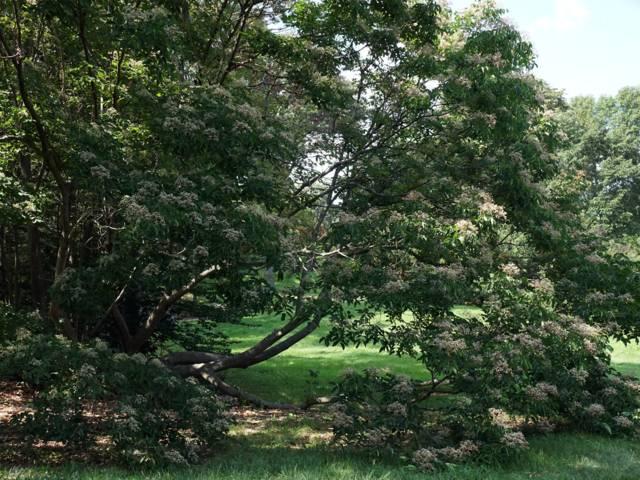 Tetradium daniellii var. hupehensis, arbre à miel : plantation, culture