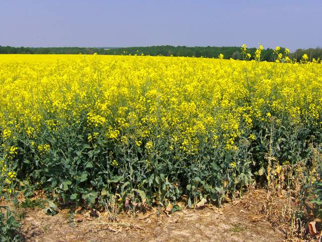 Le colza : huile, engrais vert, biocarburant...