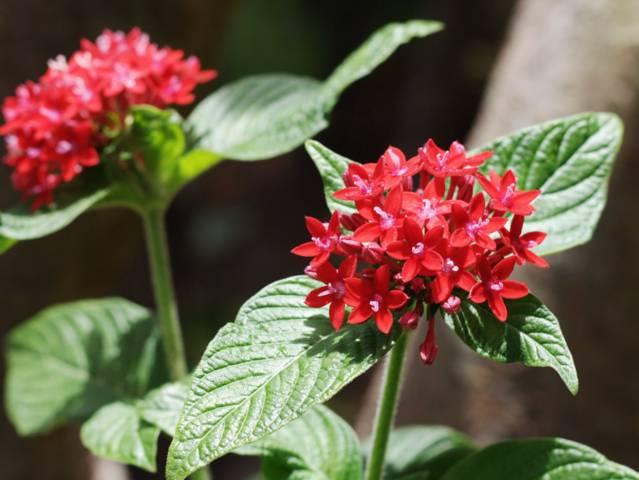 Pentas lanceolata : plantation, culture, entretien