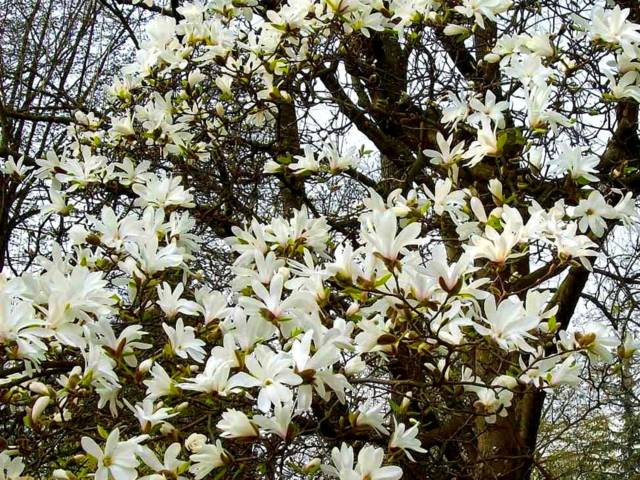Mysticisme - Georges Rodenbach Magnolia-cylindrica