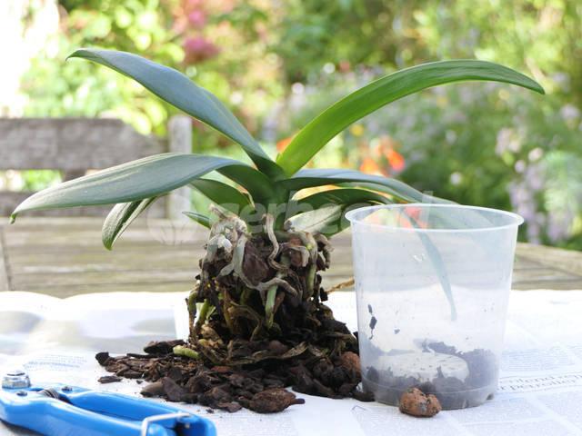 Le rempotage des orchidées