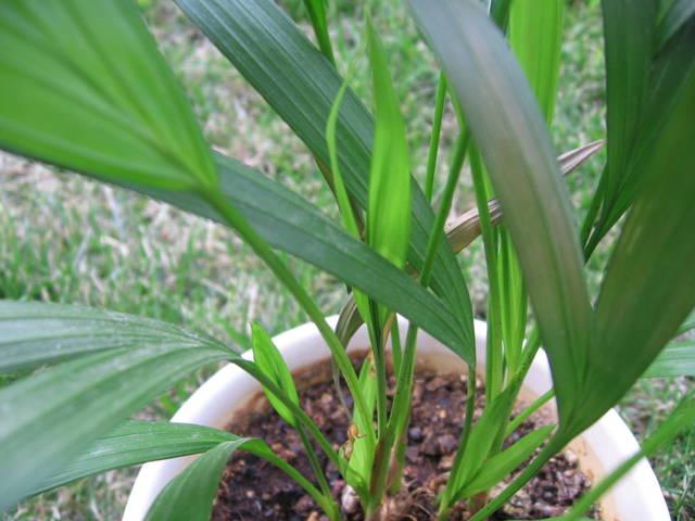Areca : un palmier d'intérieur facile à vivre